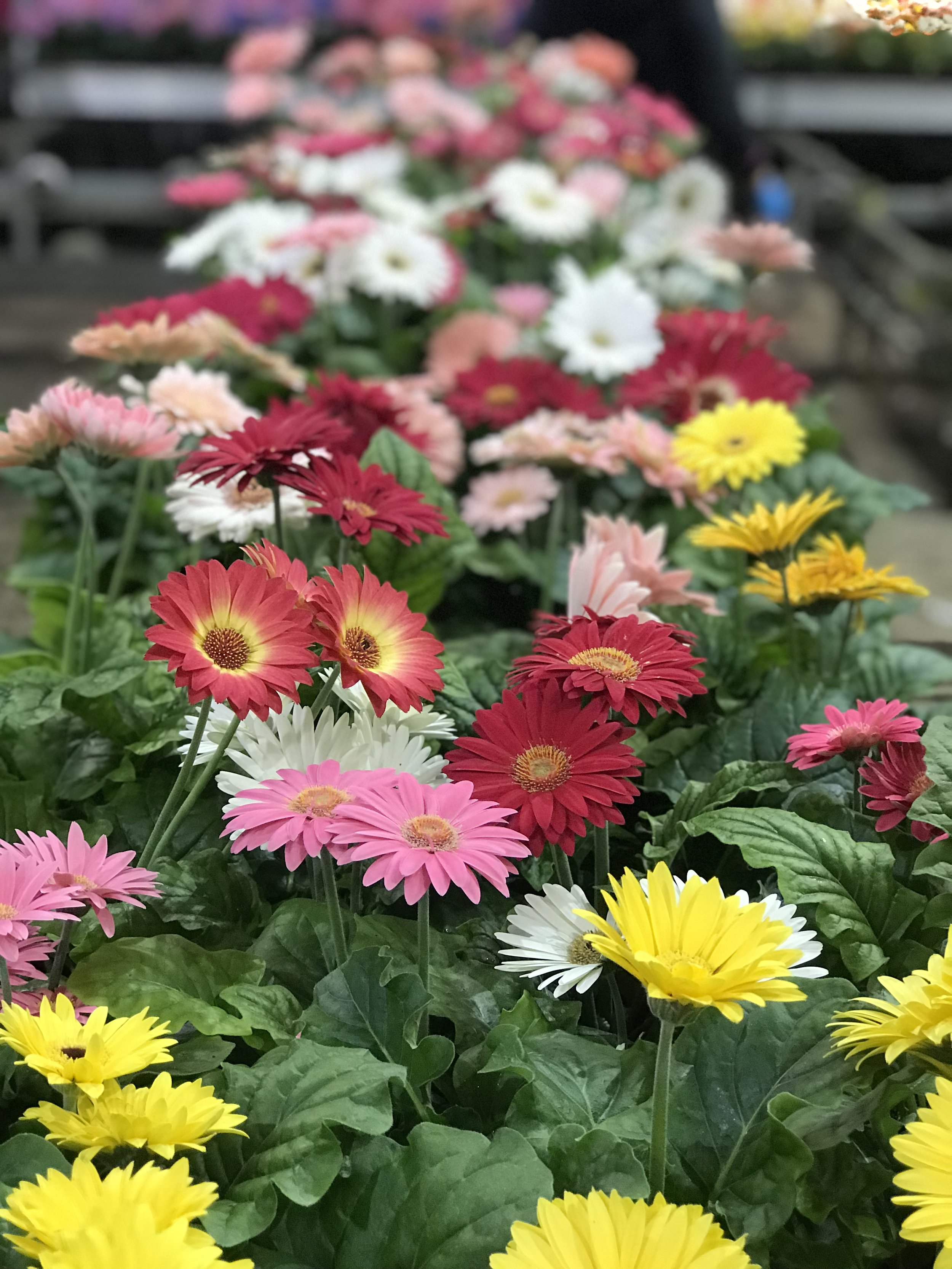 "5"" Blooming Annual $5.99"