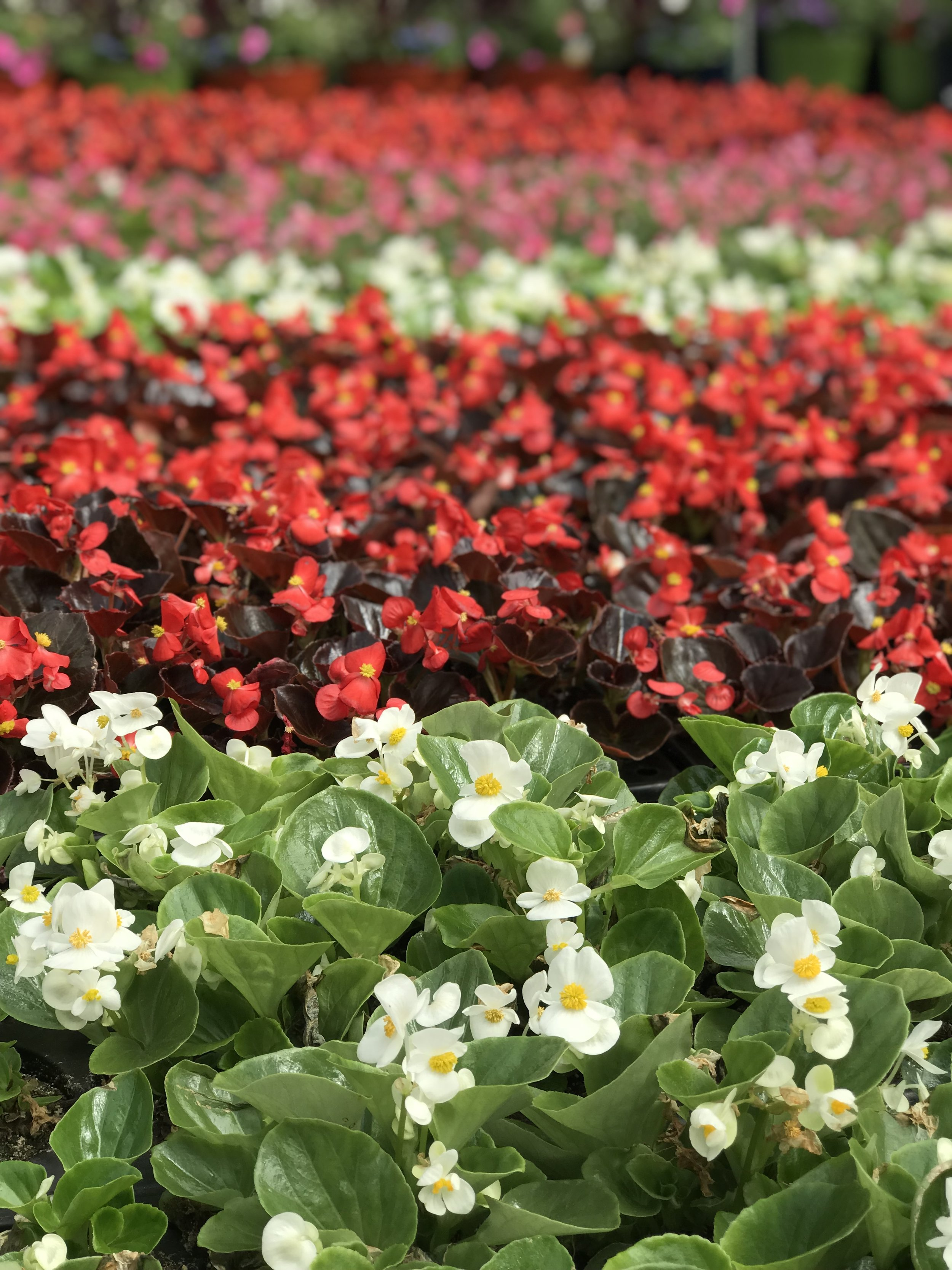 "4.5"" Blooming Annual $3.99-$6.99"