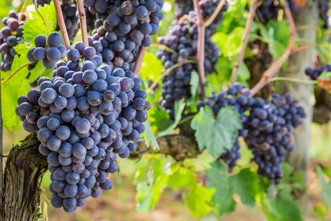 dreamstime_xs_46411526 © Shaiith grapes on vine Italy.jpg