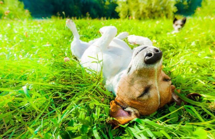 dog-rolling-in-grass.jpg