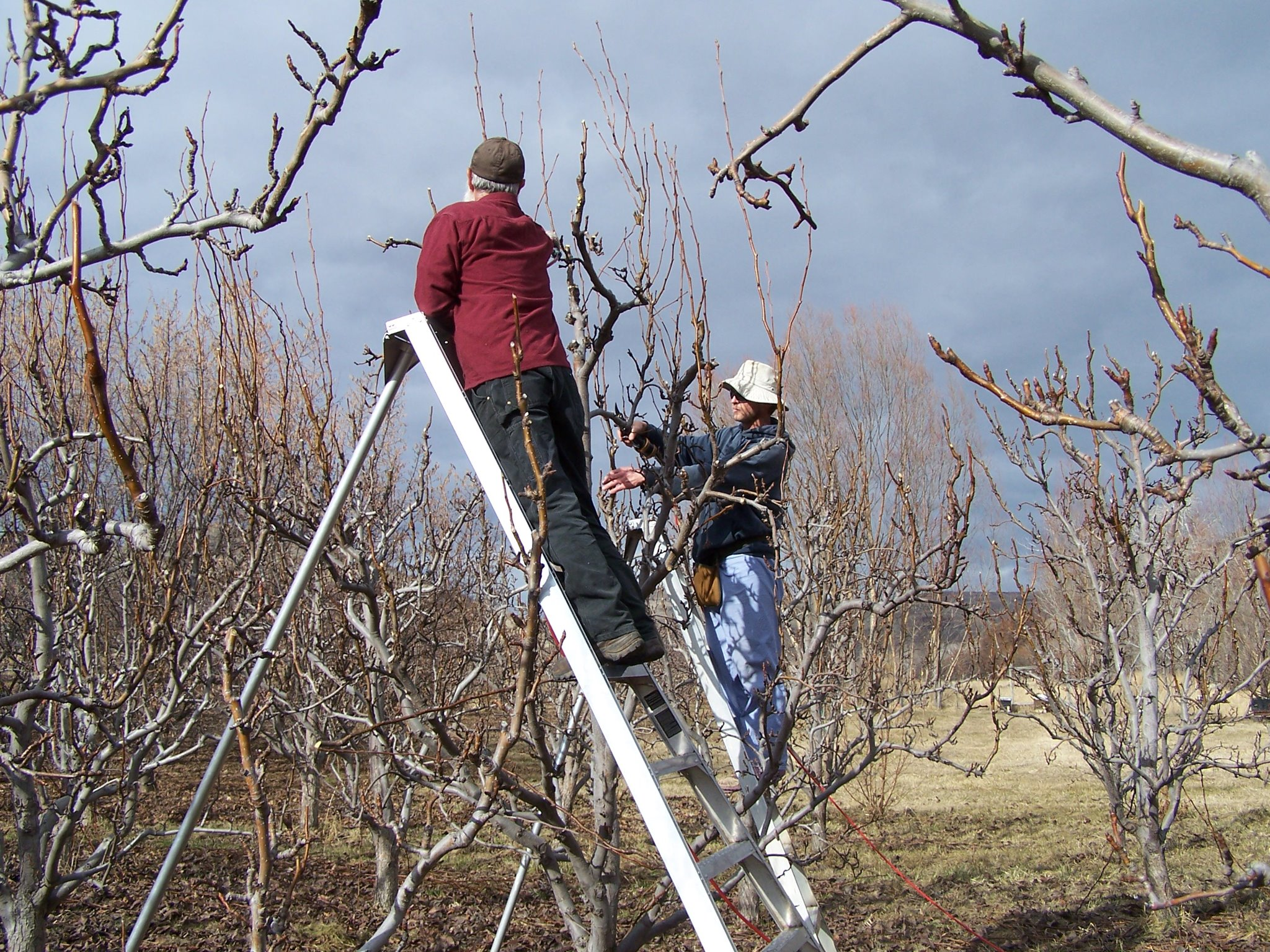 Robert and Hans pruning pears.