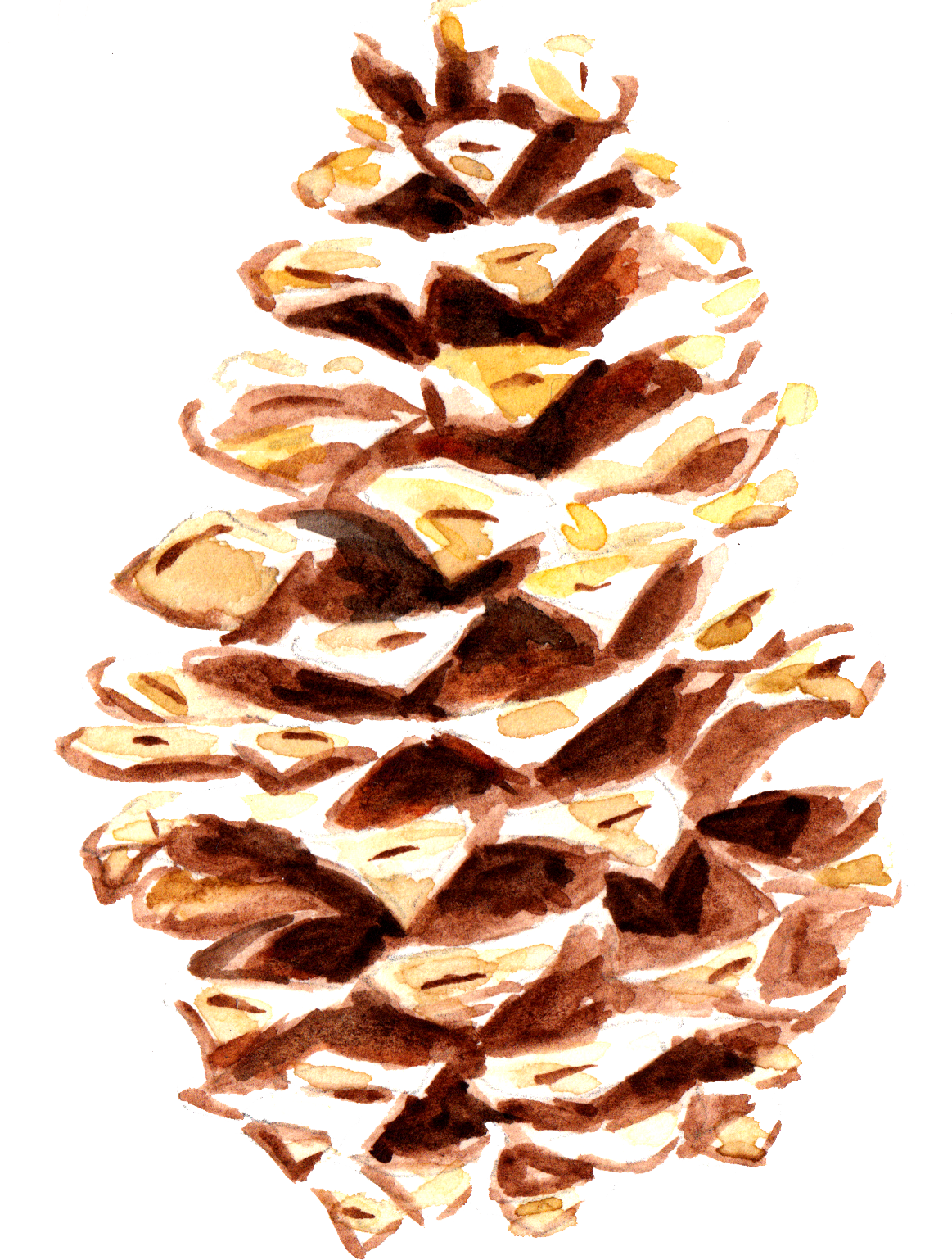 Pine_Cone_1.png