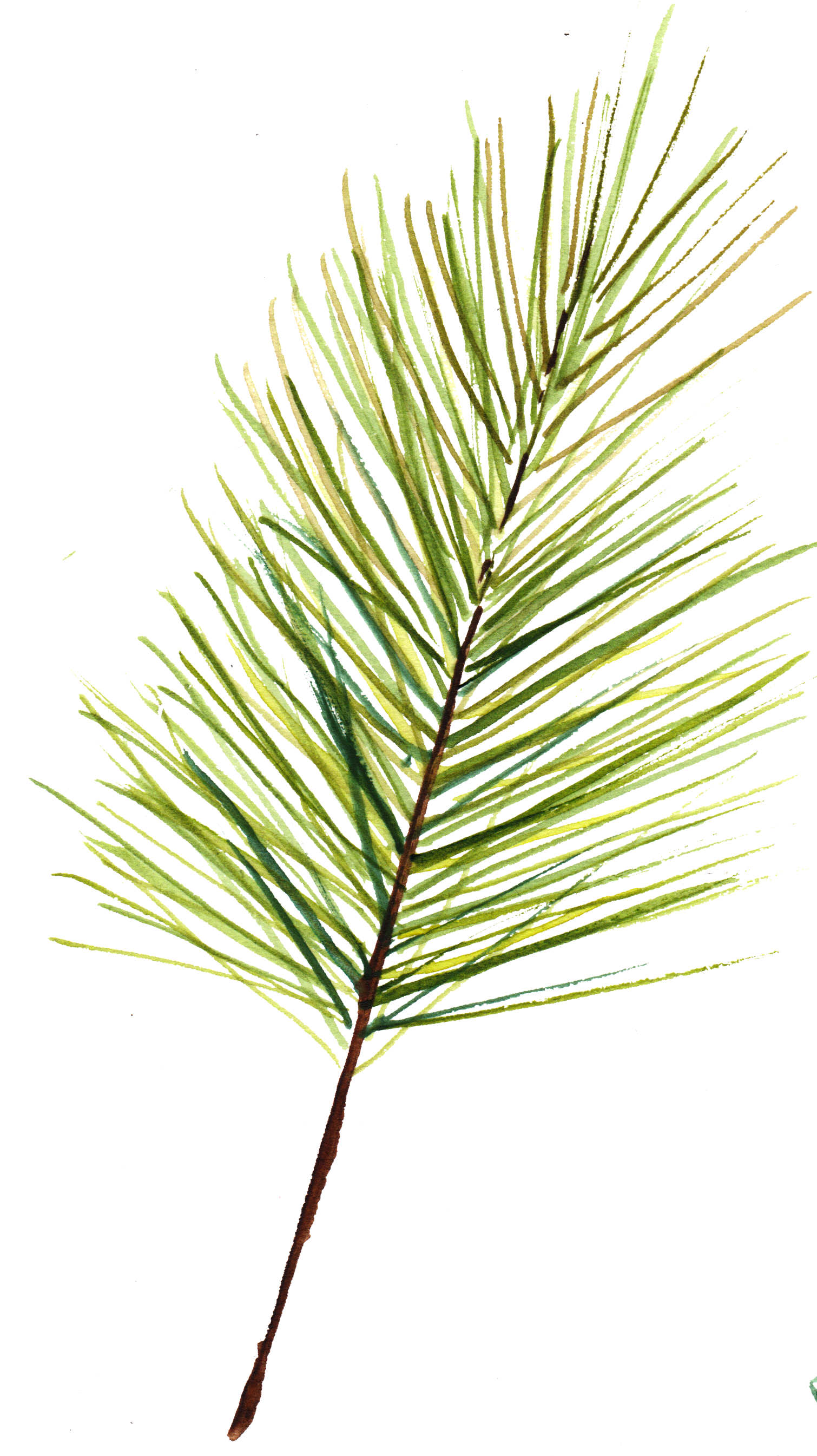 Pine_Sprig_2.png