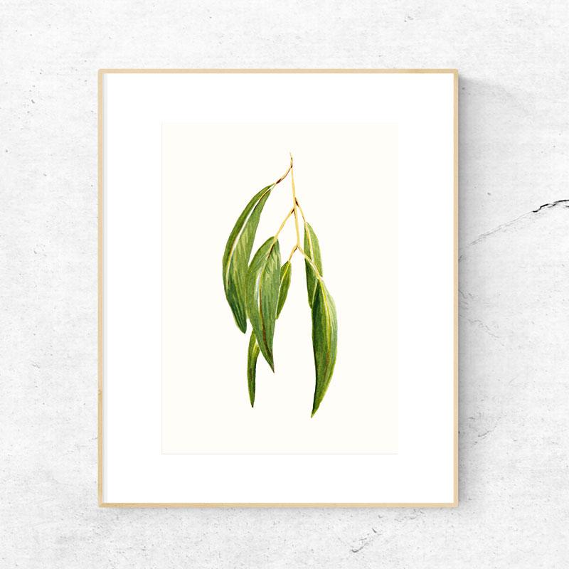 KJV_Eucalyptus.jpg