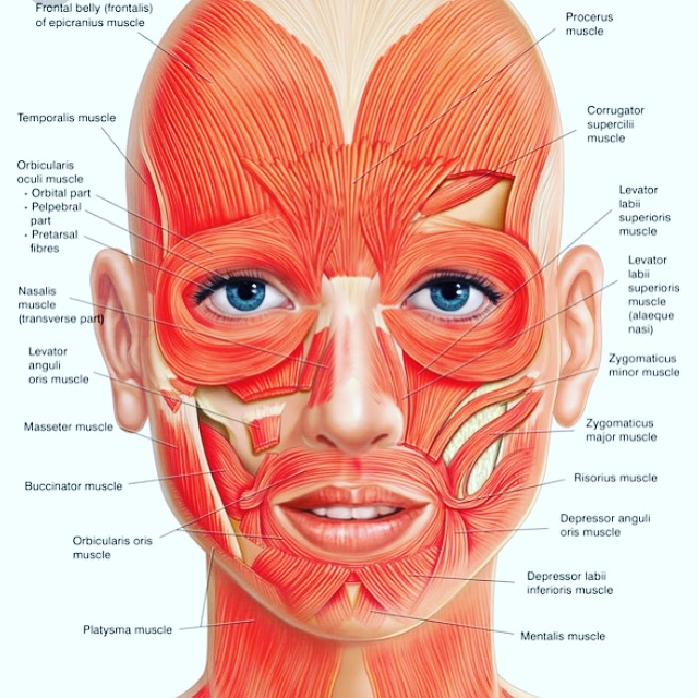 About Facial Muscles.JPG