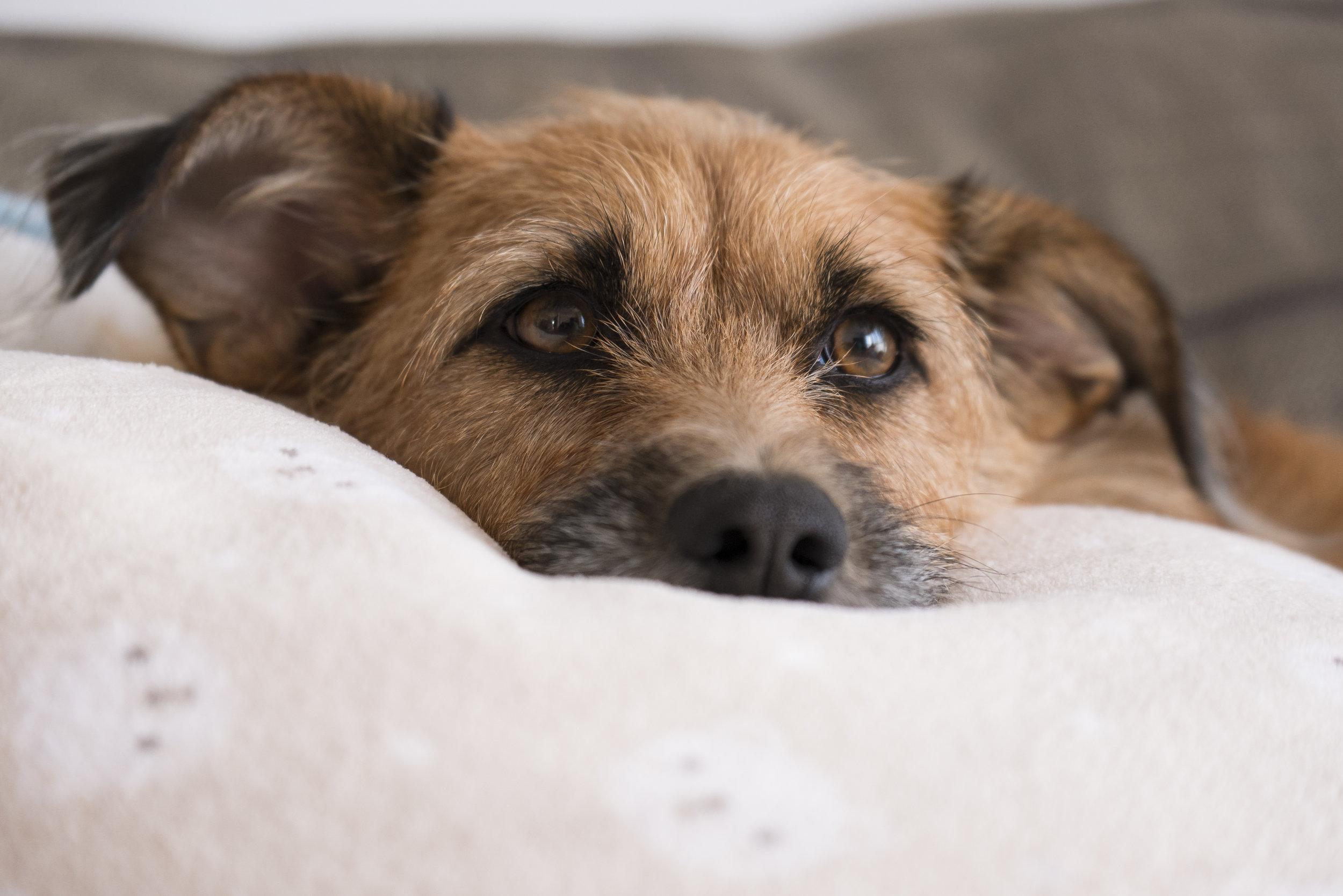 087407519-dog-relaxing-sofa.jpeg