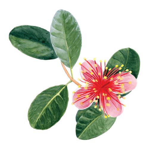feijoa-flower-1.png