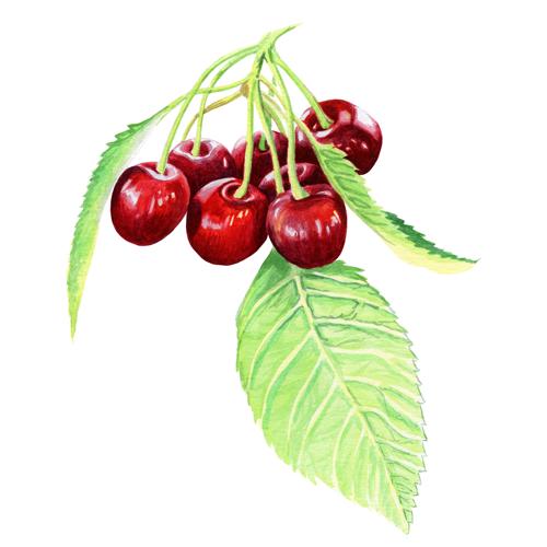 Cherry-fruit-close-up-cc.png