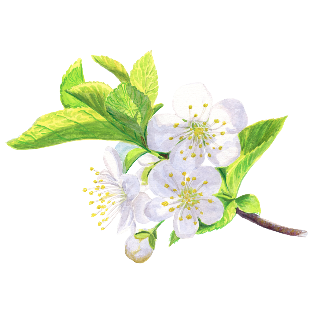 Cherry-flower-cc.png
