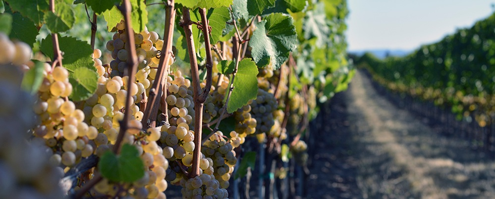 Guide to Riesling -
