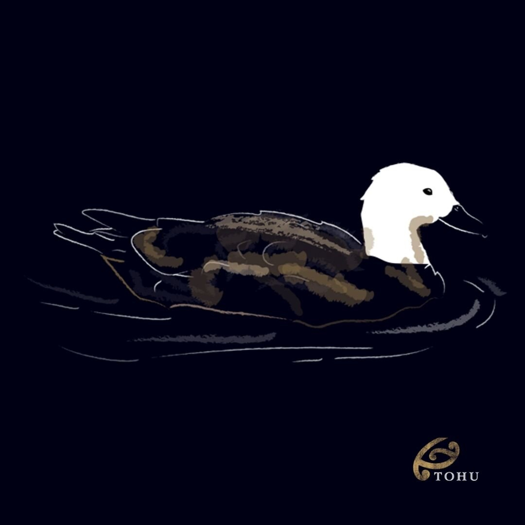 New Zealand Paradise Duck