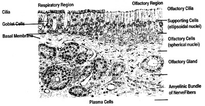 """Fig. 1.  Morphologic relationship of respiratory and sensory organization (from Bucher 0.2) Human olfactory mucosa, with transition to """"respiratory"""" mucosa on left. Olfactory cells, supporting cells and basal replacement cells. H-F ethylene blue staining, x 250 (W.)"""