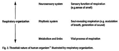 Fig. 2.  Threefold nature of human organism(24) illustrated by respiratory organization.