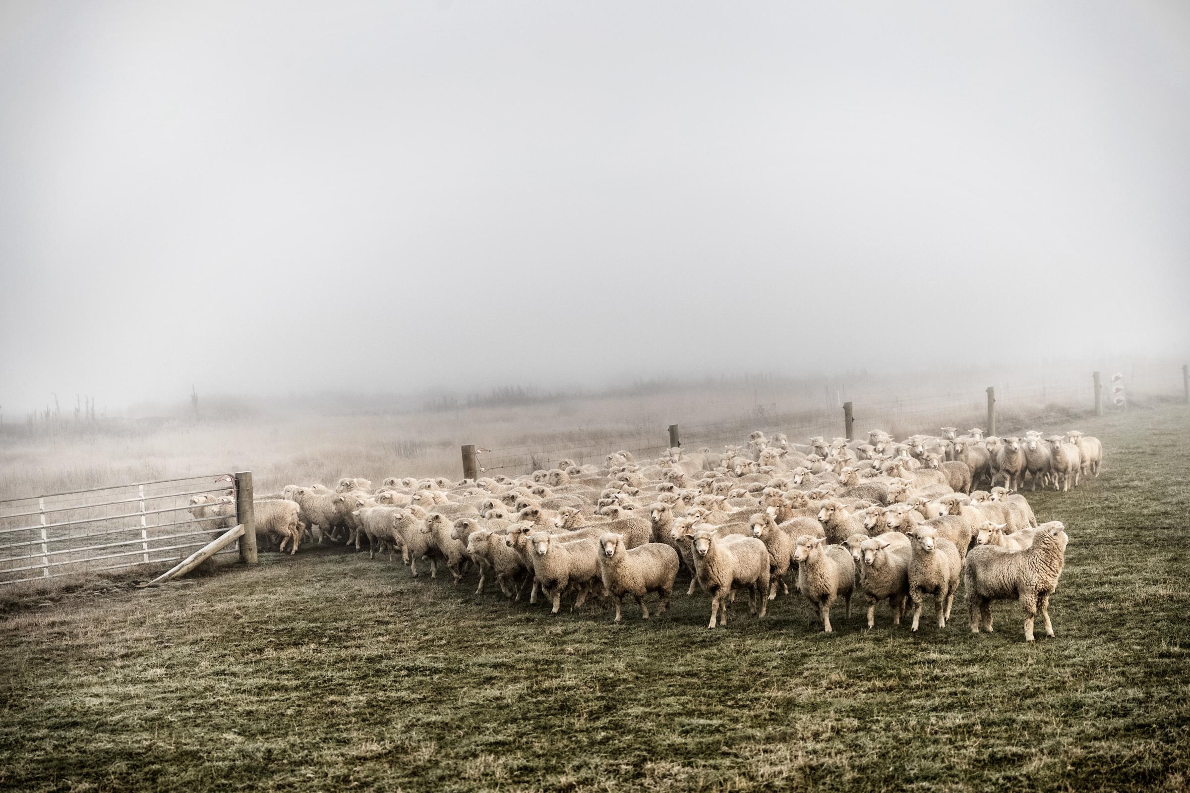 TaddMyers_PR_Sheep-5.jpg