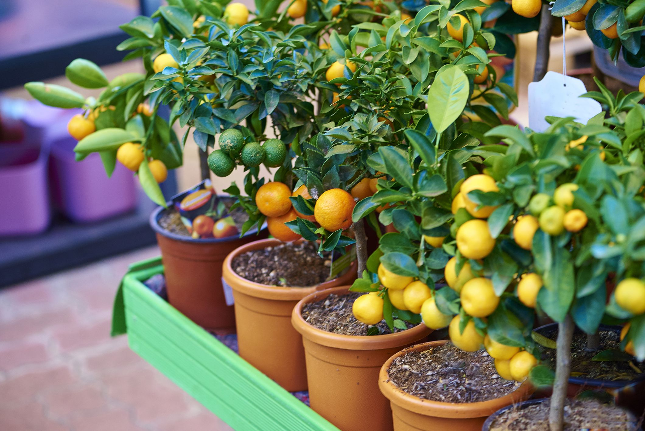 Growing Dwarf Citrus Trees