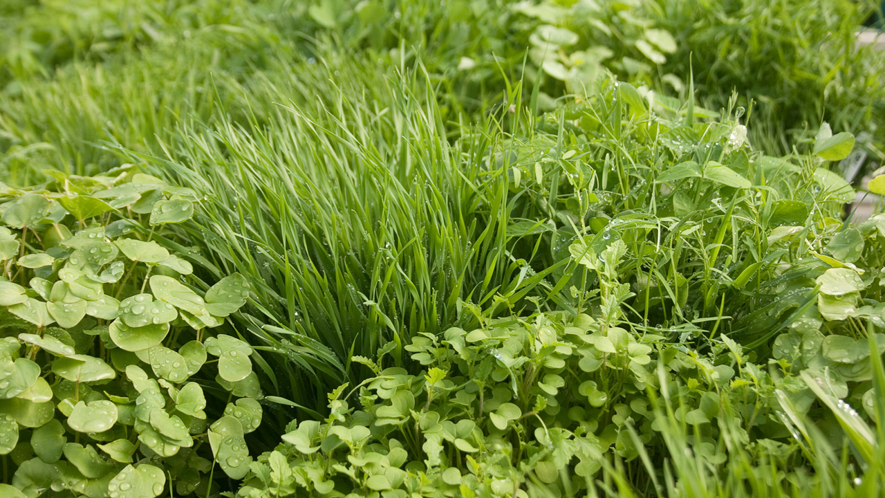 growing-cover-crops.jpg
