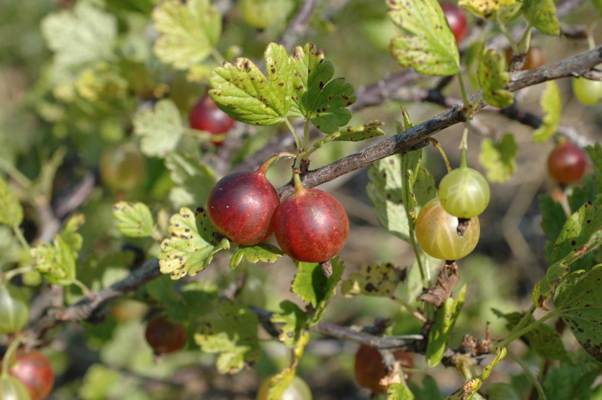 Growing Currants & Gooseberries