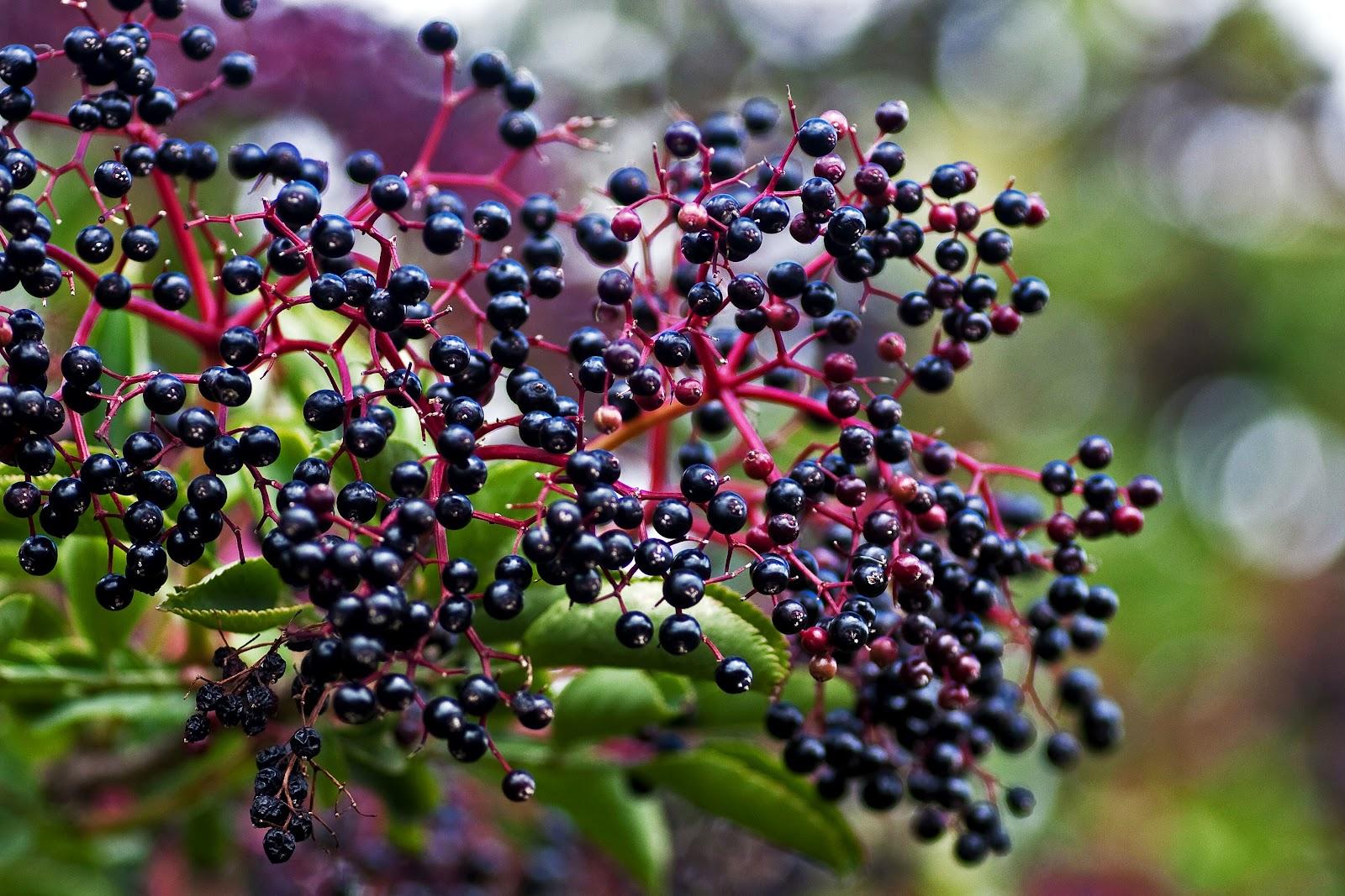 growing-elderberries.jpg