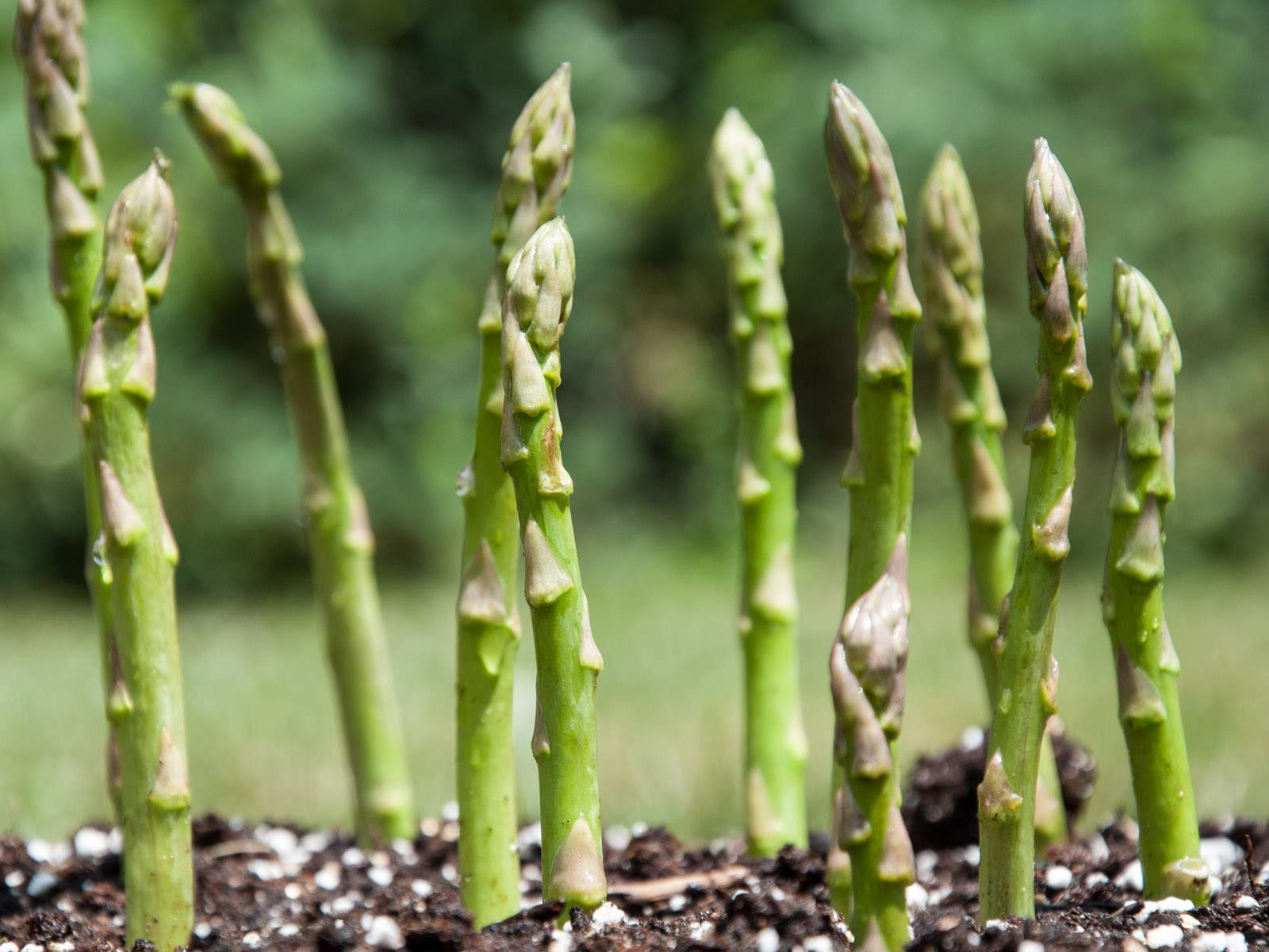 growing-asparagus.jpg