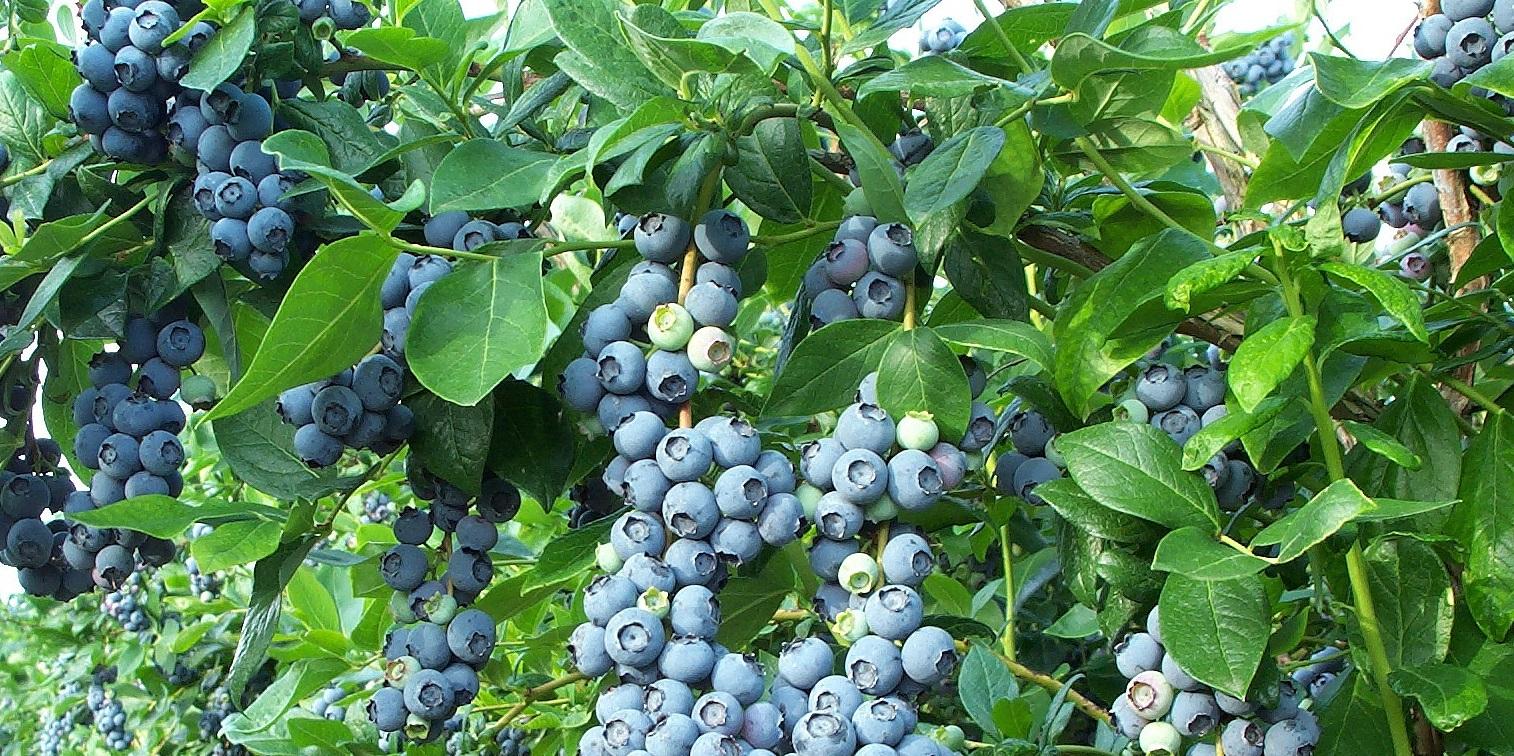 growing-blueberries.jpg