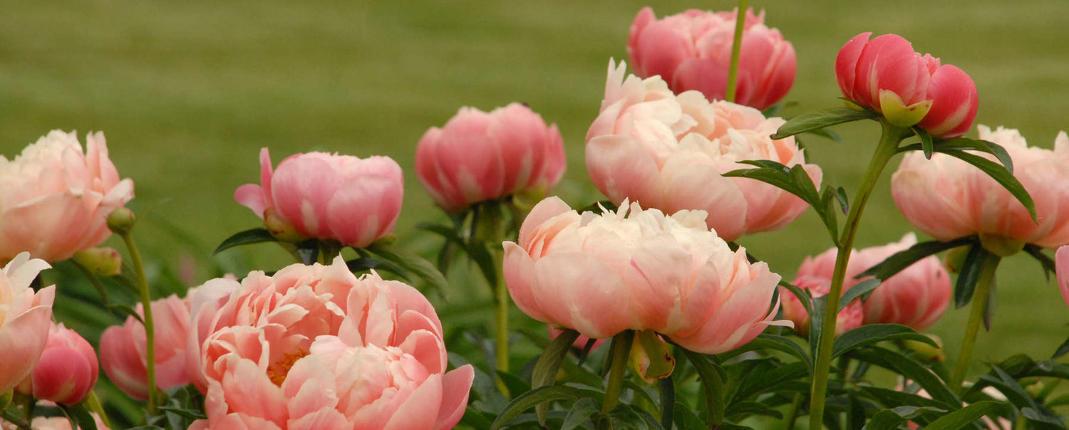 Growing Peonies The Forest Flower