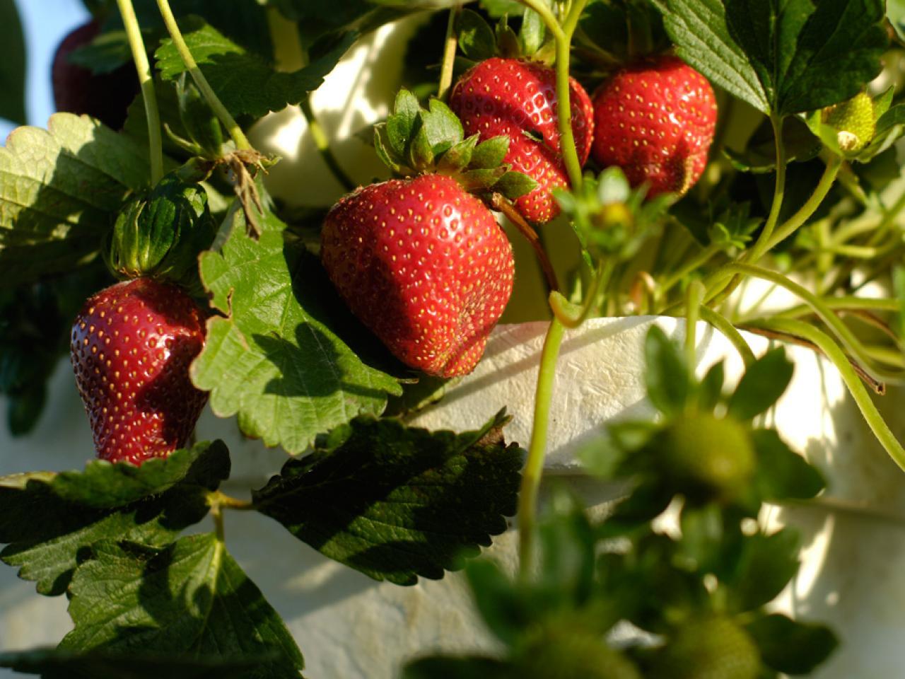 growing-strawberries.jpeg