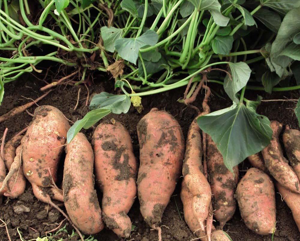 growing-sweet-potatoes.jpg