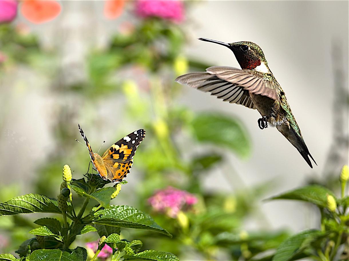 Perennials For Hummingbirds & Butterflies