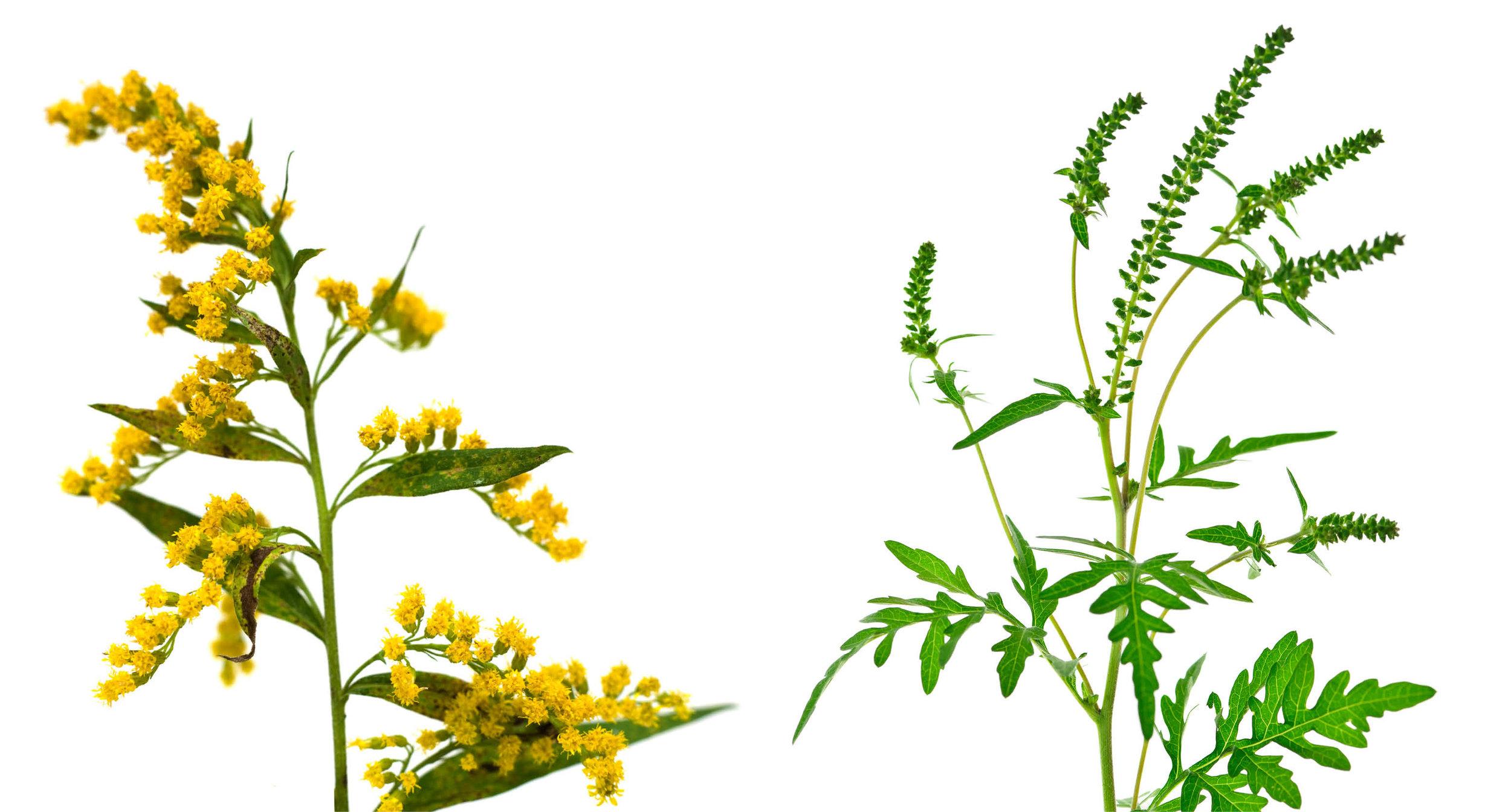 ragweed-and-goldenrod.jpg