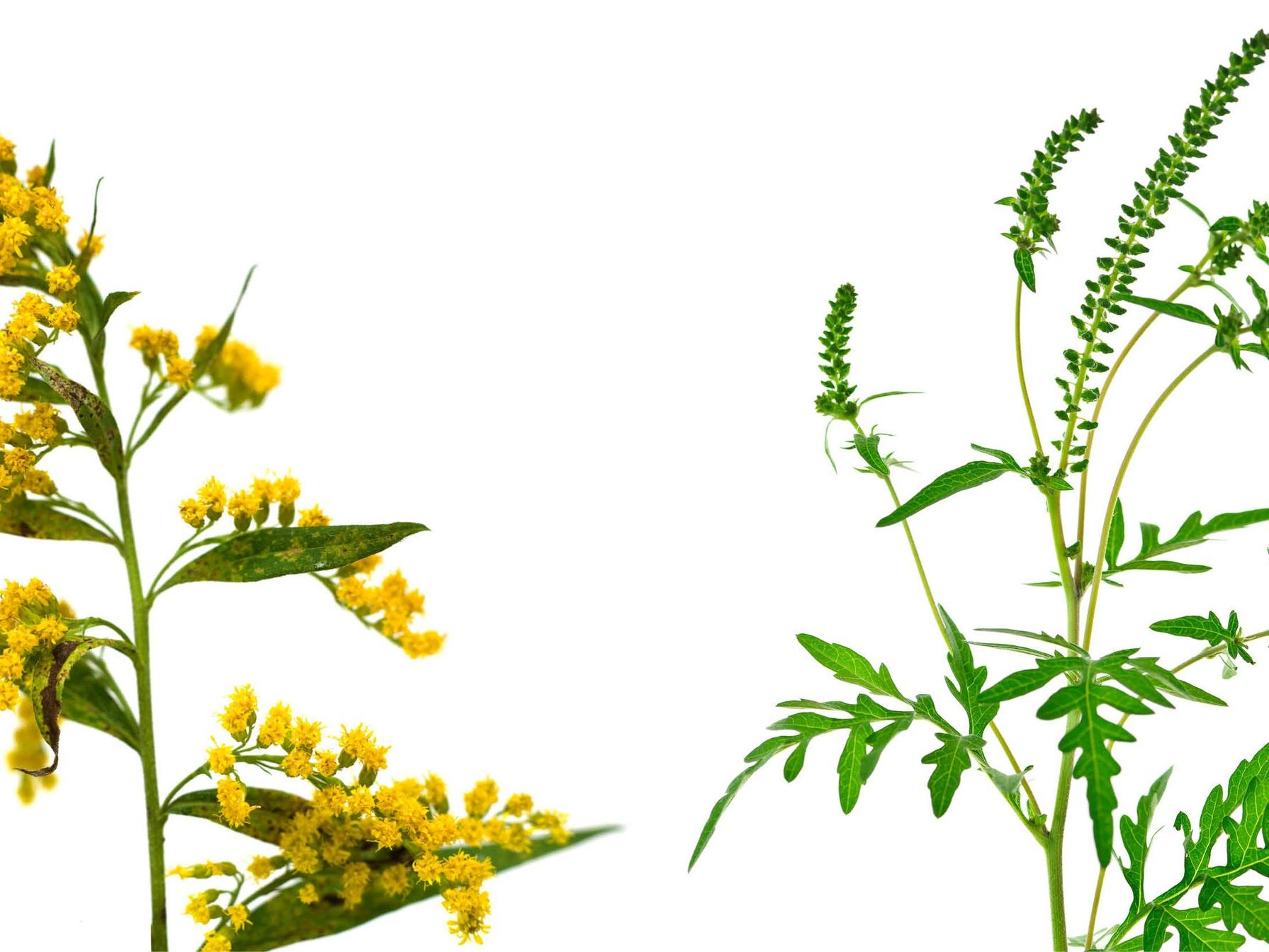 Goldenrod & Ragweed