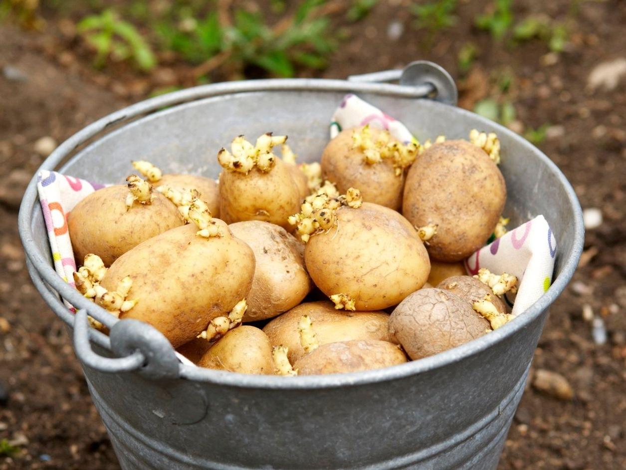 Growing Seed Potatoes