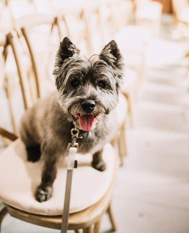 Starting the day off right with a puppy in your feed! This handsome boy was one of two ring puppers. We LOVE when couples use their pets during the ceremony, or if we aren't allowed we suggest having them in the engagement photos so they can be featured on the wedding day or the wedding website. ⠀ .⠀ .⠀ .⠀ Design, Coordination, Planning, Stationery: @frid.events // Photography: @brentcalis // Venues: @allsaintsottawa // Beauty: @zabiqbal // Cake: @suite.12 // Catering: @ottawamission // Entertainment: @ccrockard @birdsongentertainment // Florals: @wearepollennation // Officiant: @tom.watson412 // Travel & Accommodations: @thelordelginhotel⠀ .⠀ .⠀ .⠀ #weddingplanner #instawed #engaged #ottawa #fridevents #weddingphotographer #weddinginvitations #bridetobe #ottawawedding #marriage #weddinginspiration #weddingday #ontariobridesfeature #realwedding #canadianbride #ottawaweddings #quebecweddings #stylemepretty #weddinghair #ottawaweddingplanner #ottawaeventplanner #ottawabride #eventplanner #rusticwedding #industrialwedding #weddingblog #weddingvenues #junebugweddings #wedluxe #weddingbells⠀