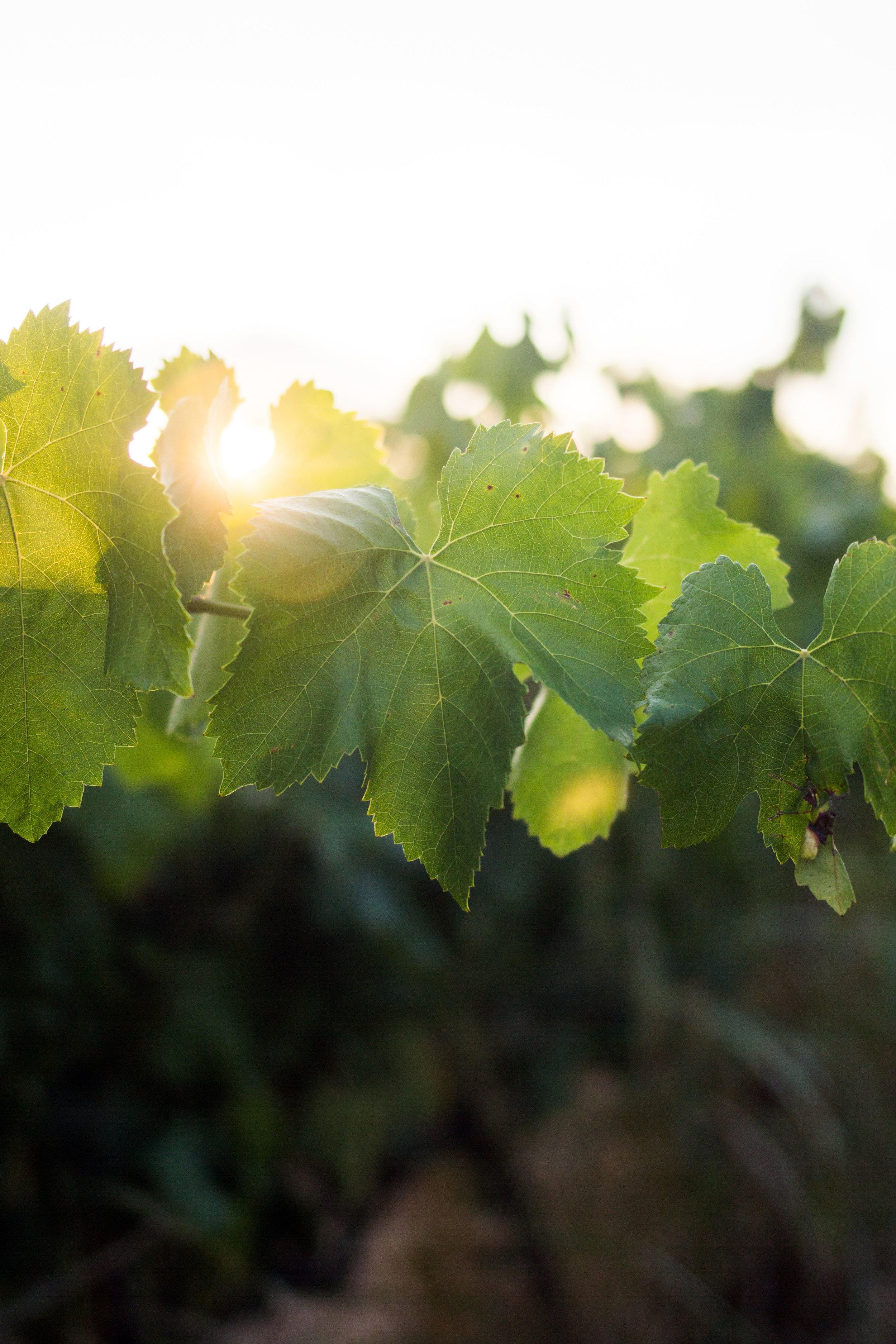 Sun shining through vine leaves