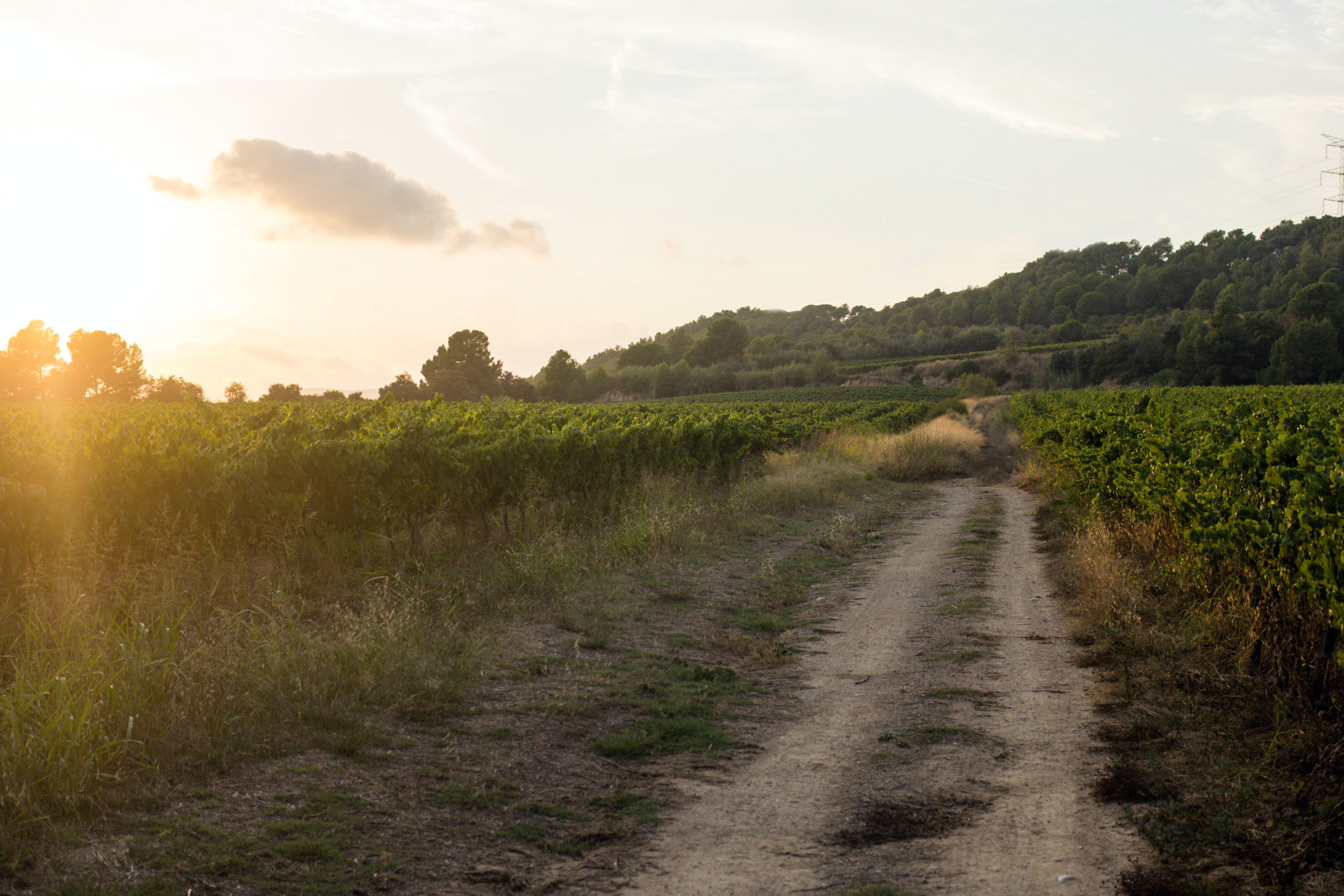 Sunset on a road through the vineyard