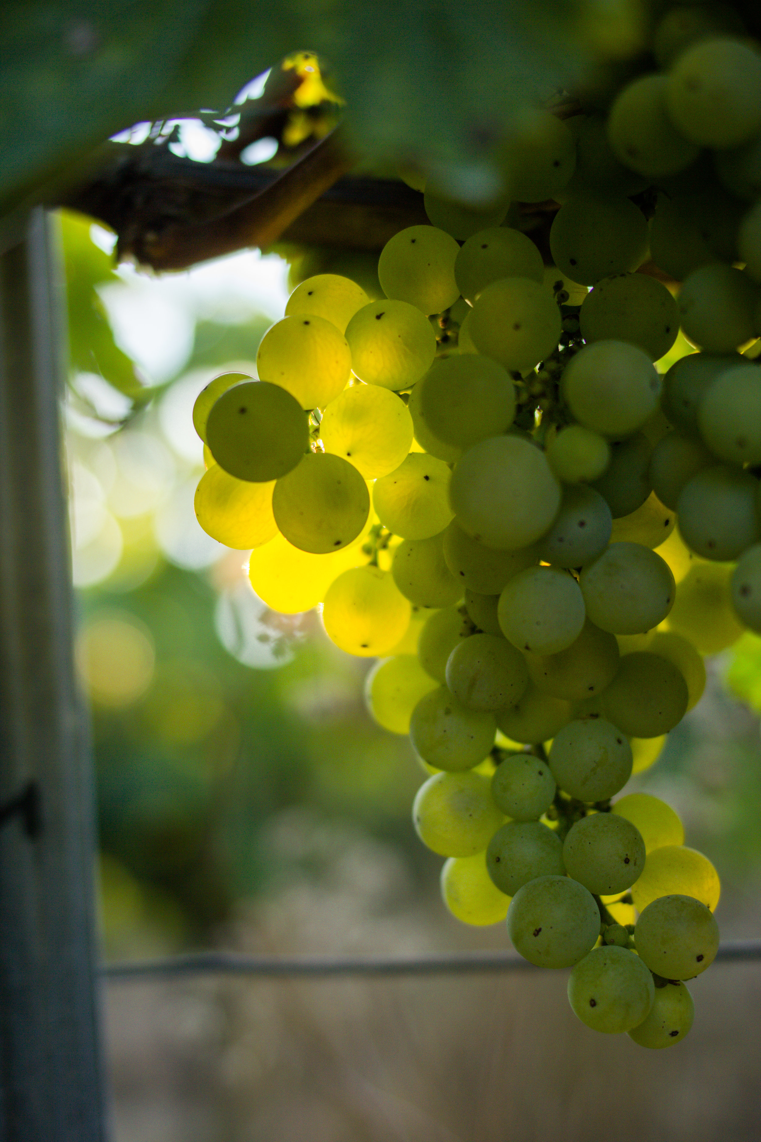 Sun shines through a bunch of grapes on the vine