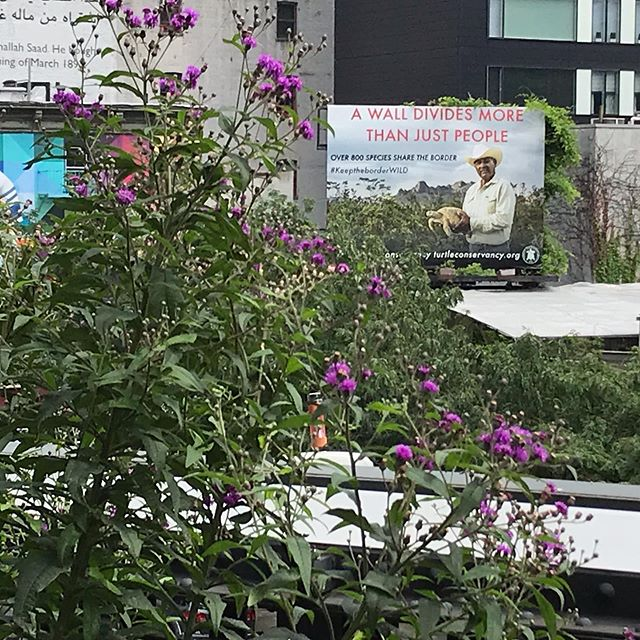 While looking for #butterflies aka #mariposas on #highlinenyc I chance to look up at the surrounding city, and what did I see...? Thank you @turtleconservancy for making my day/week/month  #newyork #nowall @aymariposafilm @jennygnichols