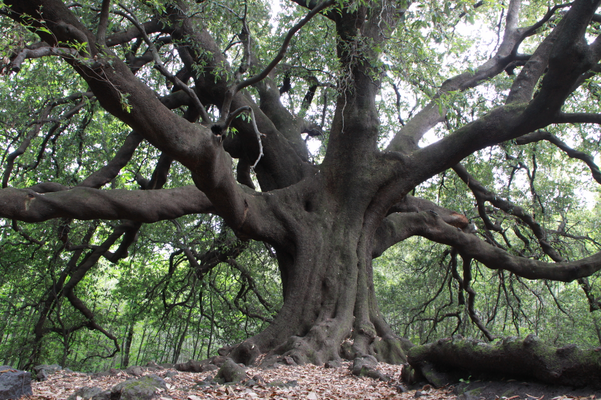 IMG_6461-Quercus-ilex-Ilice-di-carrinu.jpg