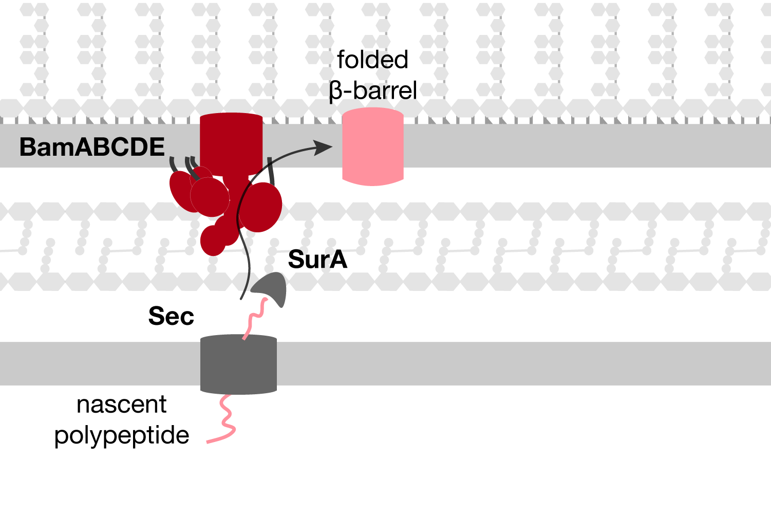 Outer membrane protein biogenesis - Outer membrane beta-barrels are folded and inserted into the outer membrane by the Bam complex (BamABCDE).