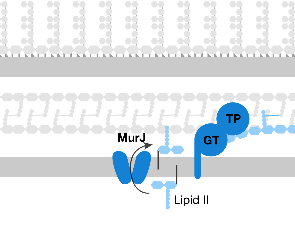 Cell wall overview - Lipid II, the monomer for bacterial cell wall, is synthesized inside the cytoplasm and then flipped outward by the transporter MurJ. It is then polymerized by glycosyltransferases (GTs) and crosslinked by transpeptidases (TPs) to make the protective mesh that is cell wall.
