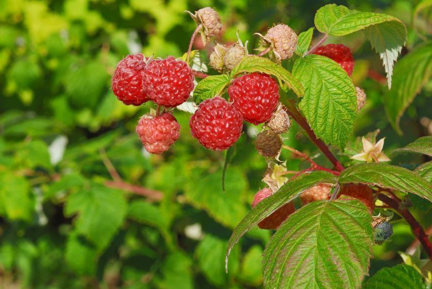 123743-847x567r2-Red-Raspberry.jpg