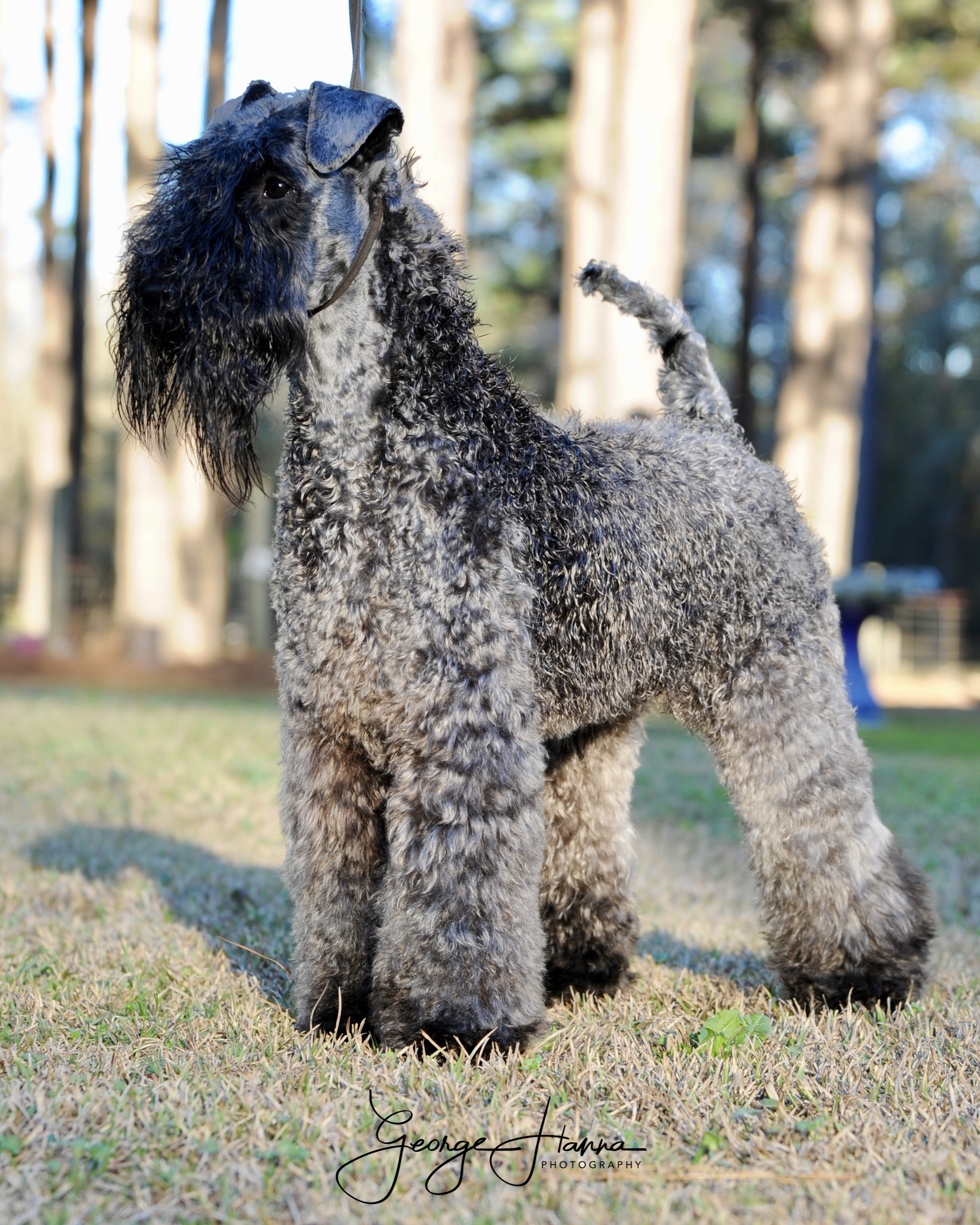 Kerry Blue Terrier: Harley - Royal Winzent's History Supreme Low Country Kennels