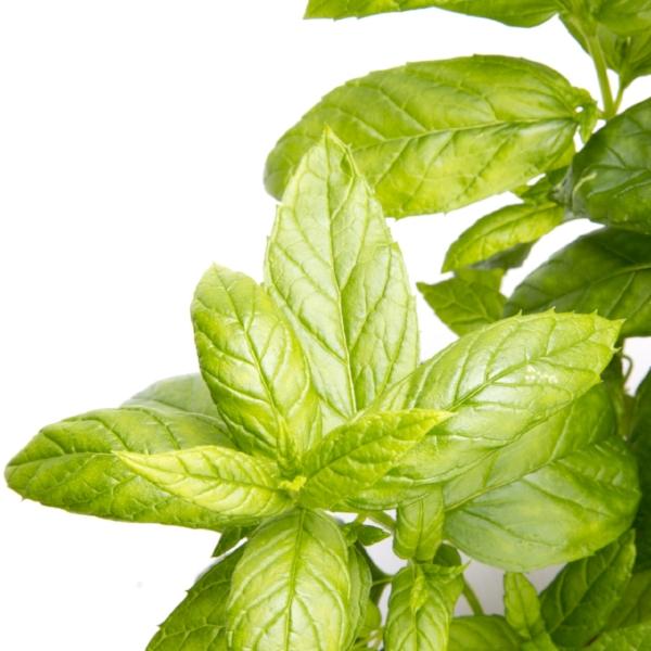 peppermint-plant-1475510385ZzT.jpg