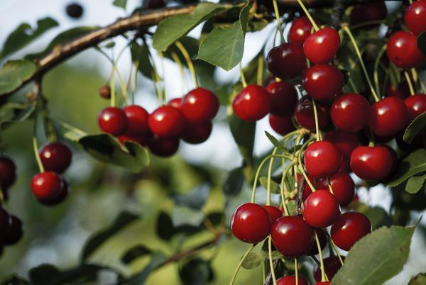 about_cherries_grande.jpg