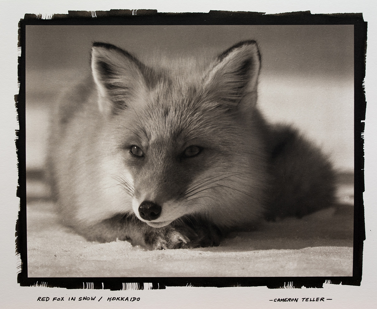 Red Fox in Snow / Hokkaido