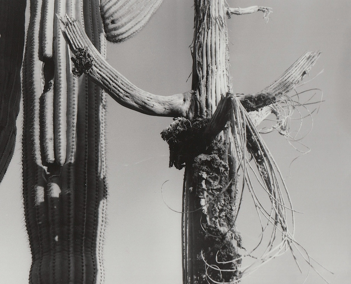 Saguaro Skeleton with Curls