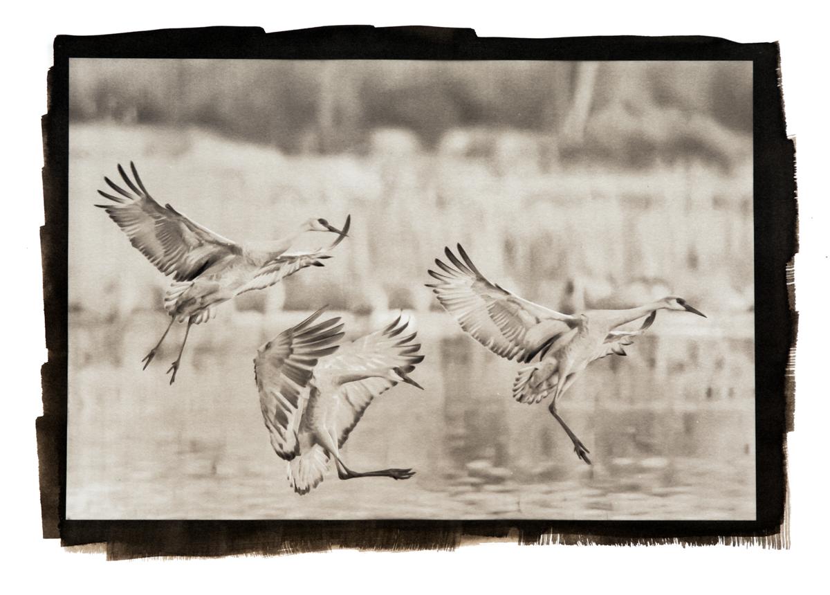 Final Approach, Sandhill Cranes