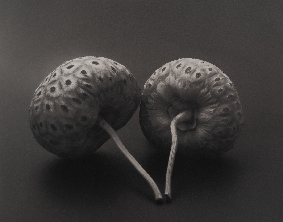 Evergreen Dogwood Seed Pods