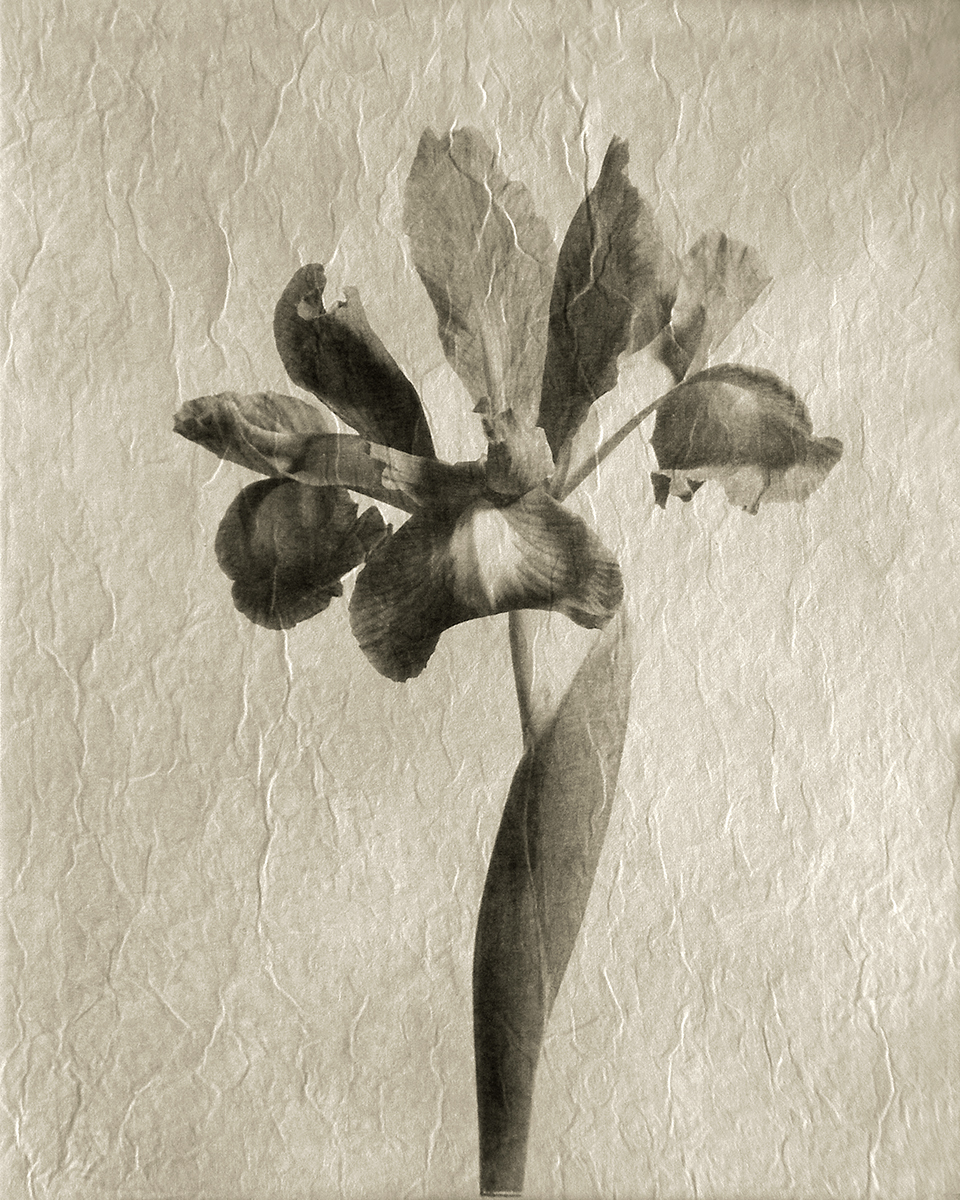 Iris - (printed on Gampi Paper)
