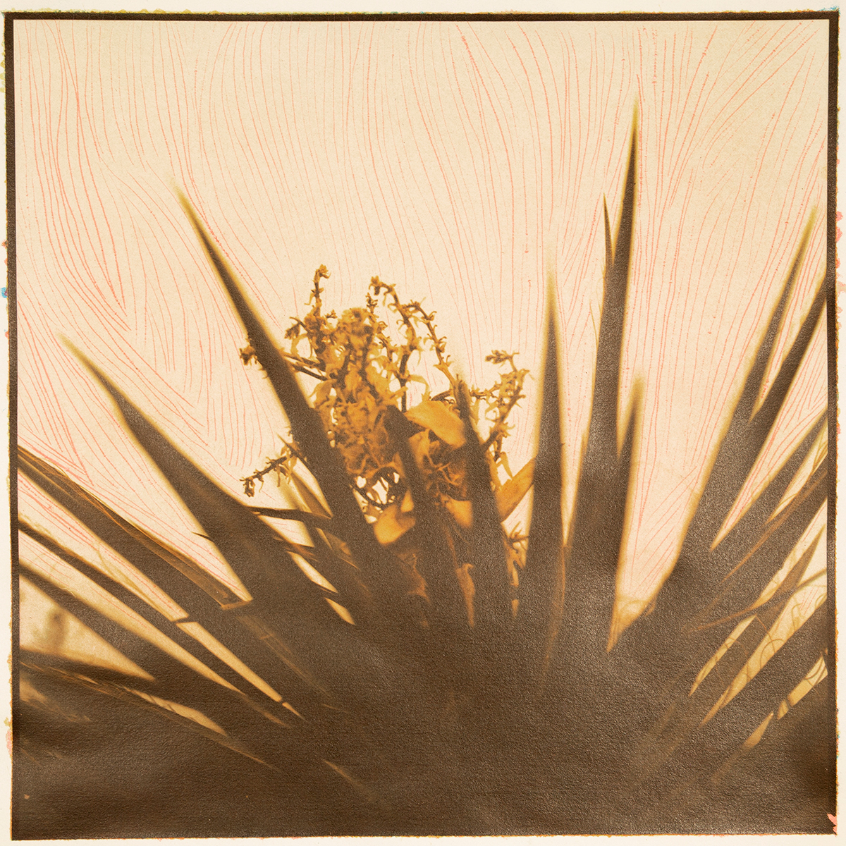 Yucca in Transition