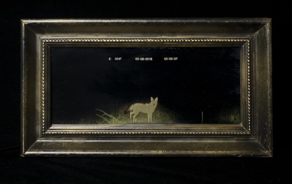 Anamorphosis (Coyote by train tracks)